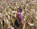 kukoricaszedés 020.jpg